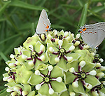 Grey Hairstreak Butterflies on Milkweed