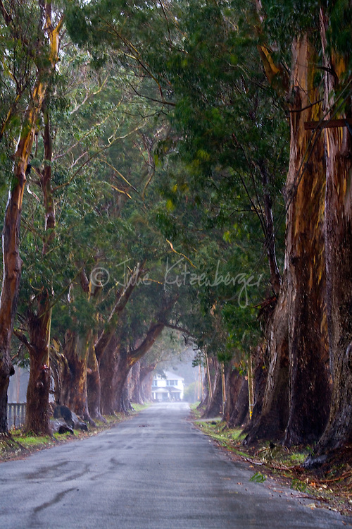 Fine art winter nature scene of country road in overcast later afternoon with light rain/heavy mist and leading towards an iconic white farmhouse, in Northern California, U.S.A., with a grove of rich brown and dark green large, old eucalyptus trees creating a canopy over the road.