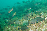 Sea of Cortez, Baja California, Mexico; a large school of Gulf Opaleye (Girella simplicidens) fish forage for food on the rocky reef