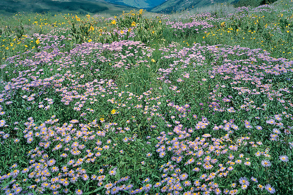 Daisy wildfowers in the Elk Mountains in the Gothic area, Crested Butte, Colorado, USA. .  John offers private photo tours and workshops throughout Colorado. Year-round.