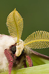 Luna moth close up, Actius luna;