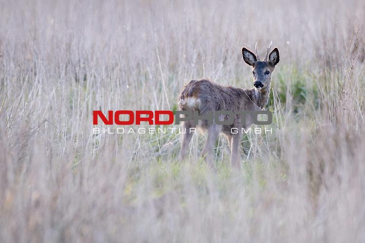 Reh, (lat. capreolus capreolus), Rehbock in Brachland, Gabler,  Jagd, Saeugetier<br /> <br /> Foto: nordphoto *** Local Caption *** Original Naturfoto - hŲhere AuflŲsung auf Anfrage - Dig. Foto
