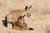 Two Bat-eared fox pupsat burrow entrance
