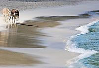 Cinnamon Bay.Virgin Islands National Park.St John, US Virgin Islands Cinnamon Bay  Donkeys