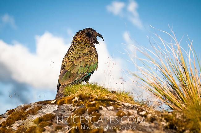 Endangered, native alpine parrot, kea on Alex Knob track, Westland National Park, South Westland, West Coast, South Island, New Zealand