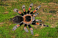 Mexikanische Rotknie-Vogelspinne, Rotknie-Vogelspinne, Rotknievogelspinne, Brachypelma smithi, Brachypelma smithii, Brachypelma annitha, Mexican redknee tarantula, Vogelspinne, Vogelspinnen, Theraphosidae, Aviculariidae, Tarantulas