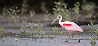 We occasionally see spoonbills during our cruise on the Rio Tarcoles.