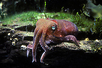 Cuttlefish, North Pacific