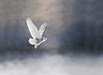 Snowy Owl gliding through a dreamy forest<br />