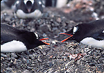 gentoo penguins vocalize at nests