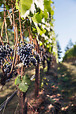 USA, Oregon, Willamette Valley, Pinot Noir grapes in a block near to the tasting room at Sotor Vineyards, Carlton