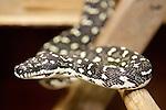 Diamond Python, Healesville Sanctuary