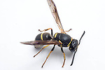 Yellowjacket wasp, Euodynerus foraminatus