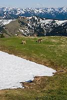 Black-tailed deer feeding along receding snowpatch in alpine meadow of Olympic National Park, Washington.  Summer.