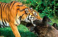 Sumatran tiger, Panthera tigris sumatrae, adult, feeding on its prey, wild boar, critically endangered species, Sumatra, Sunda Islands, Indonesia