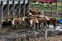 Cattle herd at feed station, New York, USA