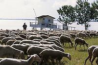 Europe/France/Aquitaine/33/Gironde/Env de Pauillac: Guy Regnier (Berger) et son troupeau de moutons et agneaux de Pauillac sur les berges de la Gironde (AUTORISATION N°360)