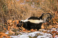 Striped Skunk in big-leaf maple leaves and late autumn snow. Will den up for winter.  Pacific Coast, British Columbia. Canada..(Mephitis mephitis).