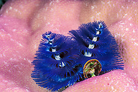 Christmas tree worm, Spirobranchus giganteus, Great Barrier Reef, Australia, Coral Sea, Pacific Ocean