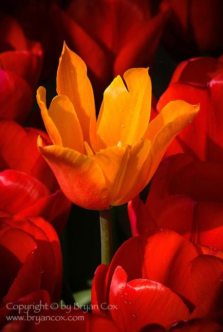 Tulips, Wooden Shoe Tulip Farm, Woodburn, OR