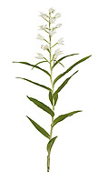 Sword-leaved helleborine - Cephalanthera longifolia