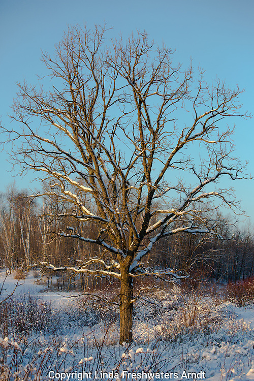 Bur Oak in winter