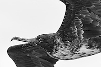 Magnificent frigatebirds often fly alongside boats and ships hoping to find scraps thrown overboard (usually by fishing vessels).