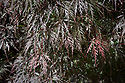 Spring foliage of Acer palmatum 'Garnet' (syn. Acer palmatum 'Dissectum Garnet'), mid May.