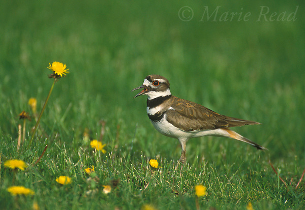Killdeer (Charadrius vociferus) adult calling, New York, USA<br /> Slide # B52-167
