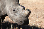 Dehorned white rhino (Ceratotherium simum) on rhino farm, Klerksdorp, North West Province, South Africa, June 2012