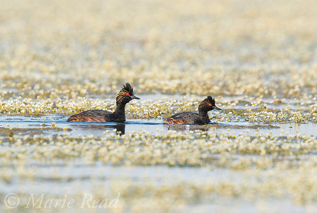 Eared Grebes (Podiceps nigricollis), pair in breeding plumage swimming amidst many white water-buttercup (AKA water crowfoot, Ranunculus aquatilis) flowers, Benton Lake National Wildlife Refuge, Montana, USA