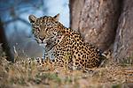 Botswana, Chobe National Park, Savuti, female leopard (Panthera pardus) lying next to tree