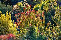 Leucadendron 'Rising Sun', Cone bush South African shrub Wild Ridge Organics; Aromas, California