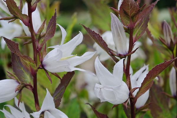 Campanula latifolia var. alba