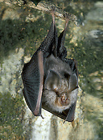 Lesser Horseshoe Bat Rhinolophus hipposideros Wingspan 19.5-25cm Smaller than Greater Horseshoe Bat but with similar facial appearance. Adult has fluffy fur, greyish brown above and paler below. Nostrils are surrounded by afleshy, horseshoe-shaped structure. Ears and wings are greyish brown. Audible squeaks heard at nursery colonies. Echolocates in 105-115kHz range. Favours open woodland, but also feeds along hedgerows; insect caught in flight and gleaned from foliage. Roosts in roofs and cellars summer, hibernates in caves and mines. Rare, restricted to SW England and W Ireland. Emerges from roosts at dusk and feeds throughout night.