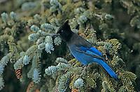 Steller's Jay, Cyanocitta stelleri, adult on Spruce, Homer, Alaska, USA