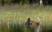 Sandhill cranes being attacked by a red-winged blackbird