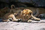 Lion cubs napping in the shade in Serengeti, Tanzania