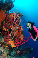 nr0452-D.  scuba diver Melissa Cole (model released) admires coral reef ablaze with sponge colors.  red Erect Rope Sponges (Amphimedon compressa), Orange Elephant Ear Sponge (Agelas clathrodes), Lavendar Rope Sponge (Niphates erecta). Belize, Caribbean Sea.<br /> Photo Copyright &copy; Brandon Cole. All rights reserved worldwide.  www.brandoncole.com