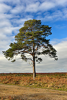 Solitary Scots Pine - Pinus sylvestris, New Forest, Hampshire