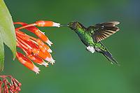 Glowing Puffleg (Eriocnemis vestita), adult feeding from flower,Papallacta, Ecuador, Andes, South America