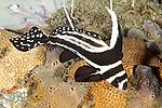 Equetus punctatus, Spotted drum, Dominica