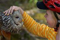 Ural owl, Strix uralensis, caught for ringing, Vastmanland Sweden