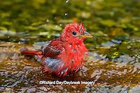 01528-00608 Summer Tanager (Piranga rubra) male bathing, Marion Co., IL