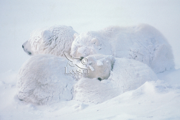 Polar bear (Ursus maritimus) family (sow with cubs) during snowstorm
