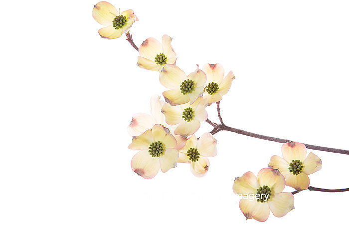 30008-00104 Flowering Dogwood (Cornus florida) branch on white background, Marion Co., IL