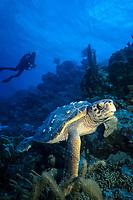 scuba diver and loggerhead turtle, Caretta caretta, Bonaire, Netherland Antilles, Caribbean Sea, Atlantic Ocean