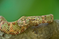 489180011 a captive green and red banded eyelash viper bothriechis schlegelii sits coiled on a tree limb species is native to south and central america