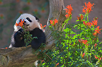 Baby Giant Panda with smelling flowers.