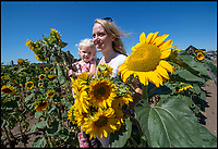 Heatwave even causes sunflowers to struggle.